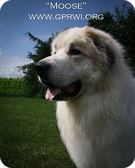 Great Pyrenees Dog for adoption in Cambridge, Illinois - Moose