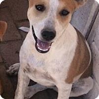 Adopt A Pet :: Banda - Gilbert, AZ