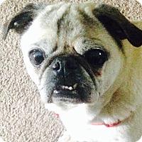 Adopt A Pet :: Vinny - Huntingdon Valley, PA