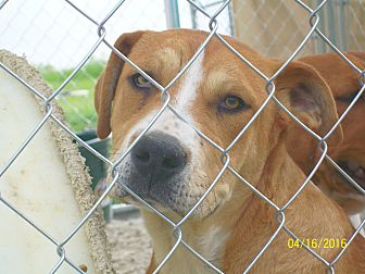 Pit Bull Terrier/American Pit Bull Terrier Mix Puppy for adoption in Mexia, Texas - Adonis