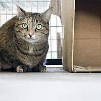 Domestic Shorthair Cat for adoption in Monroe, Louisiana - Polly Anna