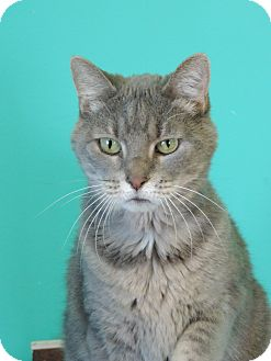 Domestic Shorthair Cat for adoption in Brookings, South Dakota - Mitters