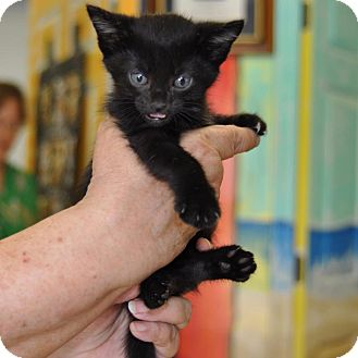 Domestic Shorthair Kitten for adoption in Sunrise Beach, Missouri - Sundae
