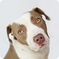 Adopt A Pet :: Maia - LOS ANGELES, CA