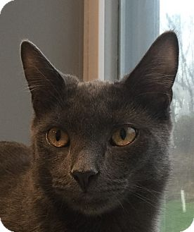 Domestic Shorthair Cat for adoption in Lafayette, New Jersey - Dorito