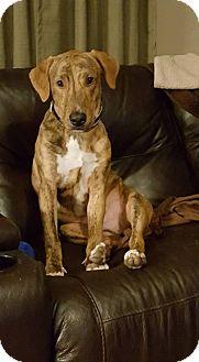 Great Dane Mix Dog for adoption in Romeoville, Illinois - Nash