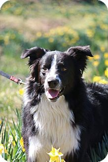 Border Collie Dog for adoption in Evansville, Indiana - Beau