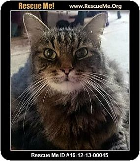 Maine Coon Cat for adoption in Waldorf, Maryland - Percy