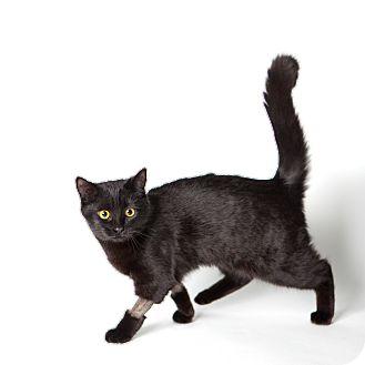 Domestic Mediumhair Cat for adoption in Rockaway, New Jersey - Dahlia