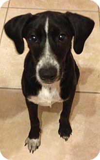 Labrador Retriever/Hound (Unknown Type) Mix Puppy for adoption in Gainesville, Florida - Leia