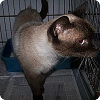 Adopt A Pet :: Shay (HIV+) - Chesapeake, VA
