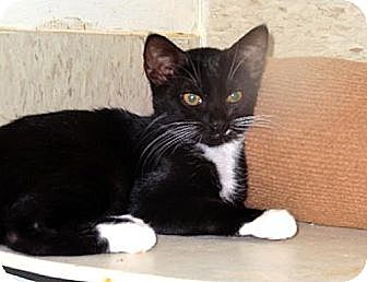 Domestic Shorthair Cat for adoption in Palm City, Florida - Mitzy