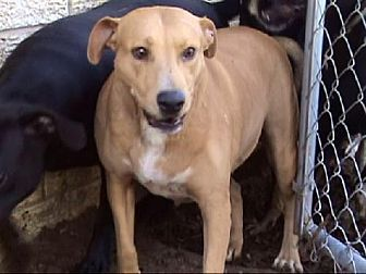 Labrador Retriever/Terrier (Unknown Type, Medium) Mix Dog for adoption in Tyler, Texas - AA-Cuddles