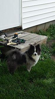 Pomeranian Dog for adoption in Broken Bow, Nebraska - GiGi
