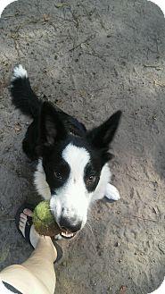 Border Collie Puppy for adoption in Charleston, South Carolina - Morgan