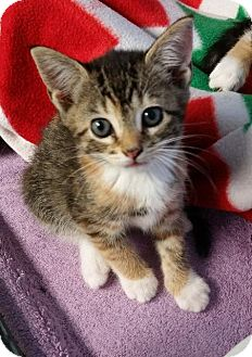 Domestic Shorthair Cat for adoption in Freeport, New York - Elyse