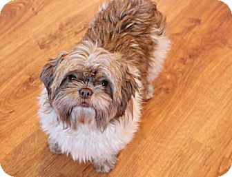 Shih Tzu Dog for adoption in Eden Prairie, Minnesota - Saydee D161613