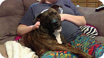 Boston Terrier/Corgi Mix Dog for adoption in Speedway, Indiana - CHARLIE GIRL