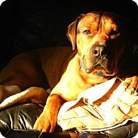 Adopt A Pet :: Nixon - Caledon, ON