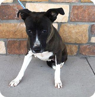 Shepherd (Unknown Type)/Labrador Retriever Mix Dog for adoption in Artesia, New Mexico - Janise