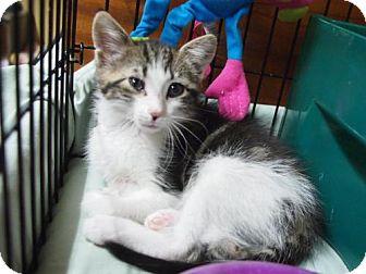 Domestic Mediumhair Kitten for adoption in Ocean City, New Jersey - Leo