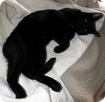 Domestic Shorthair Cat for adoption in Jacksonville, Florida - Marley