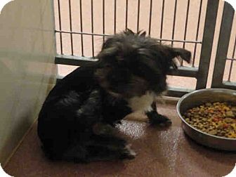 Shih Tzu Mix Dog for adoption in Ogden, Utah - PIXIE