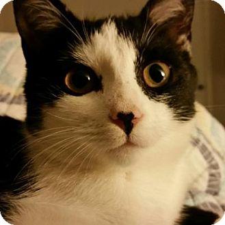 Domestic Shorthair Kitten for adoption in Pineville, North Carolina - Daney