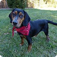 Adopt A Pet :: John Boy - Mocksville, NC