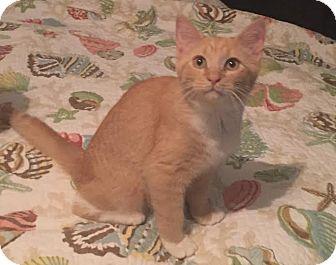 Domestic Shorthair Kitten for adoption in Port Charlotte, Florida - Sunny