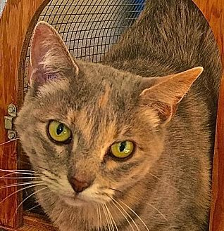 Domestic Shorthair Cat for adoption in Lancaster, California - Penny
