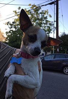 Chihuahua Mix Dog for adoption in Los Angeles, California - ATHENA