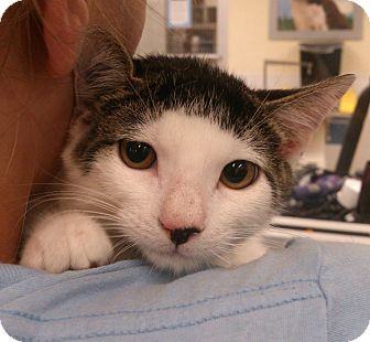 Domestic Shorthair Kitten for adoption in Highland Park, New Jersey - Huey Piano