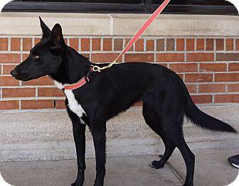 German Shepherd Dog/Border Collie Mix Dog for adoption in Houston, Texas - Hailey