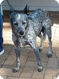 Blue Heeler Dog for adoption in Eastpoint, Florida - Bella