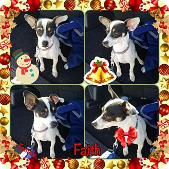Rat Terrier Mix Dog for adoption in Manchester, Connecticut - Faith-pending adoption