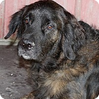 Newfoundland/Retriever (Unknown Type) Mix Dog for adoption in Savannah, Missouri - Kami