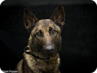 German Shepherd Dog Mix Dog for adoption in Windsor, California - Serena