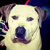 American Bulldog Mix Dog for adoption in Jasper, Georgia - Gomez