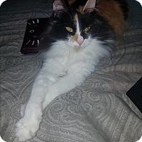 Adopt A Pet :: Cali - Tumwater, WA