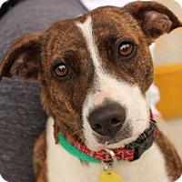 Adopt A Pet :: Peggie - Media, PA