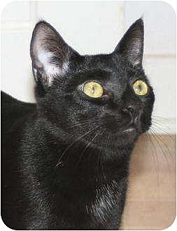 Domestic Shorthair Cat for adoption in Columbia, South Carolina - Jumper