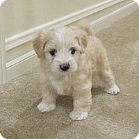 Adopt A Pet :: Ashton - La Habra Heights, CA
