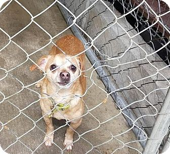 Chihuahua Mix Dog for adoption in Darlington, South Carolina - Charlie
