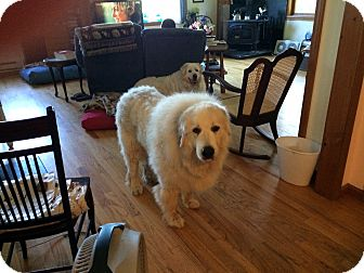 Great Pyrenees Mix Dog for adoption in Lee, Massachusetts - Anushka - in NY