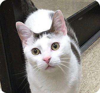 Domestic Shorthair Cat for adoption in Colmar, Pennsylvania - Curious