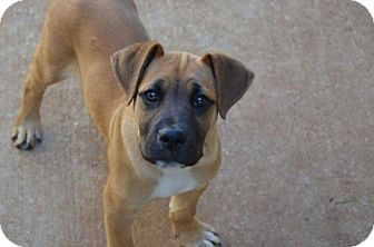 Boxer Mix Puppy for adoption in Athens, Alabama - Echo