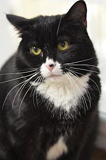 Domestic Shorthair Cat for adoption in Atlanta, Georgia - Soy160314