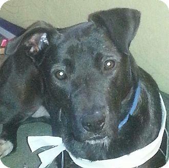 Labrador Retriever Mix Dog for adoption in Bellingham, Washington - Macy
