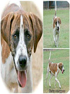 Plott Hound Mix Dog for adoption in Lufkin, Texas - Darby